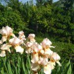 Iris germanica 5