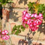 Pelargonium peltatum bicolor