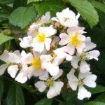 Rosa longicuspis 2