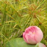 Sacred lotus Nelumbo nucifera gaertn