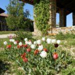 Tulipa x gesneriana (Parrot group)