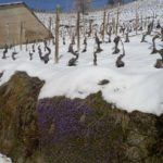 Langhe vineyards in winter