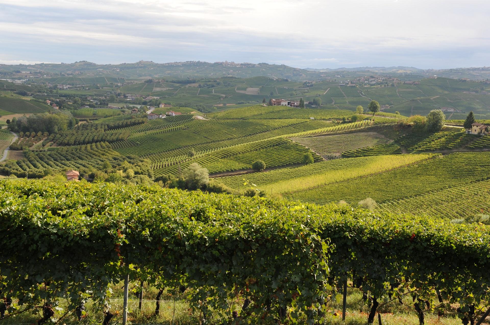 Vineyard in Langhe hills