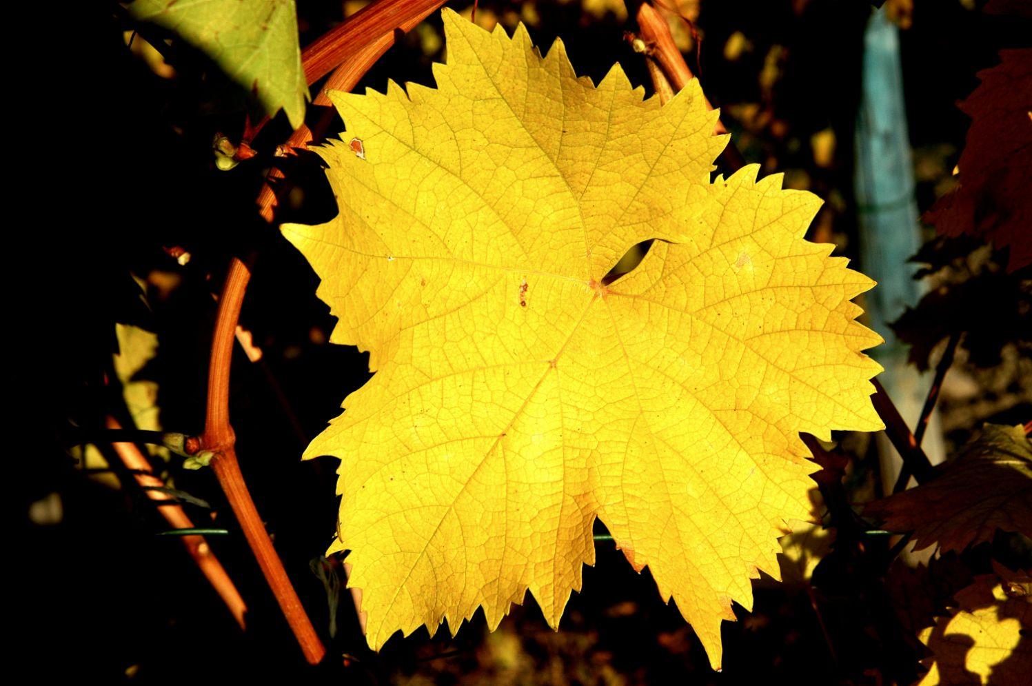 11-Grapes-November