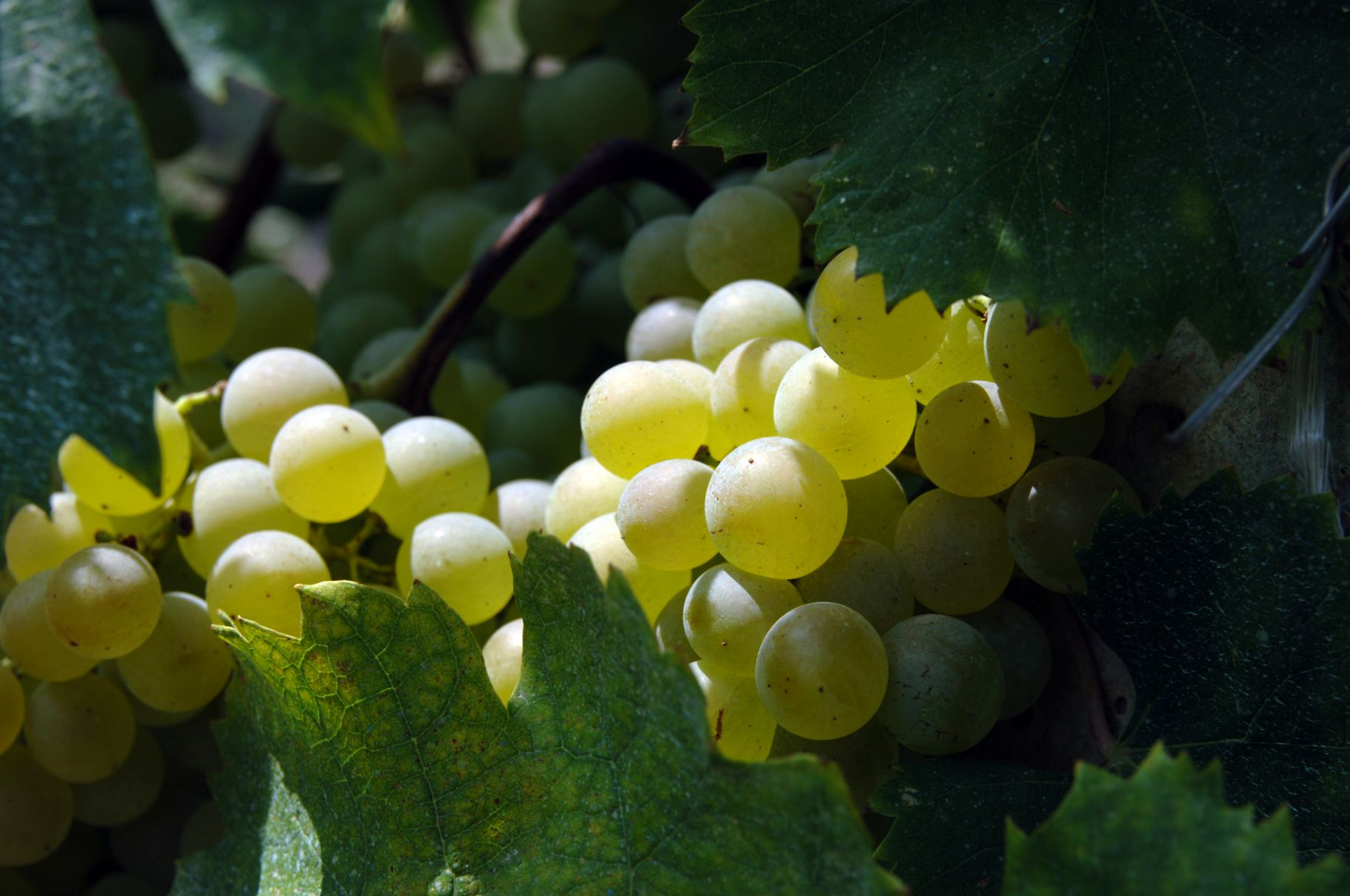 8-Grapes-August